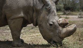 """This May 3, 2017, photo, shows Sudan, the world's last male northern white rhino, at the Ol Pejeta Conservancy in Laikipia county in Kenya. Sudan has died after """"age-related complications,"""" researchers announced Tuesday, March 20, 2018, saying he """"stole the heart of many with his dignity and strength."""" (AP Photo)"""
