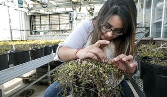In this Thursday, March 15, 2018 photo, Lorraine Rodriguez, a phd graduate student works on cross pollinating cranberry plants out of the Walnut Street Greenhouse on the University of Wisconsin-Madison campus in Madison, Wis. (Steve Apps/Wisconsin State Journal via AP)