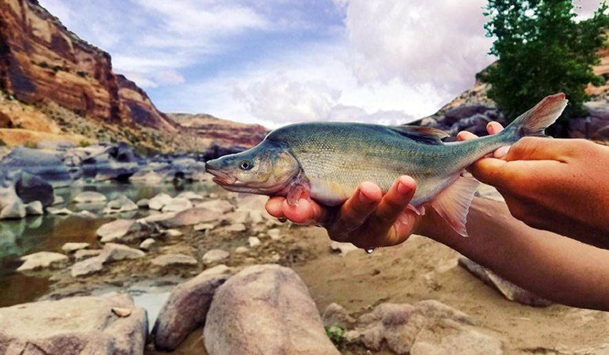This undated photo provided by the U.S. Fish and Wildlife Service shows a humpback chub in the Colorado River basin in Grand Canyon National Park in Arizona. The USFWS said Thursday, March 22, 2018 that it no longer considers the fish on the brink of extinction and will consider reclassifying the humpback chub as threatened within the next year. Federal officials say managing the flow of water from dams on the river and its tributaries, and removing fish that feed on humpback chub have helped boost numbers. But they say the species won't fully recover without more work. (Travis Francis/U.S. Fish and Wildlife Service via AP)