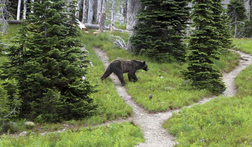 FILE - In this Aug. 3, 2014, file photo, a grizzly bear walks through a back country campsite in Montana's Glacier National Park. The Idaho Fish and Game Commission meets Thursday, March 22, 2018,  to consider starting the process of approving a grizzly bear hunting season this fall that would allow the killing of one male grizzly. (Doug Kelley/The Spokesman-Review via AP, File)