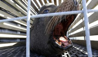 In this March 14, 2018, photo, a California sea lion waits to be released into the Pacific Ocean in Newport, Ore. Two species of fish listed as threatened under the Endangered Species Act are facing a growing challenge in Oregon from hungry sea lions. The federally protected California sea lions are traveling into the Columbia River and its tributaries to snack on fragile fish populations. After a decade killing the hungriest sea lions in one area, wildlife officials now want to expand the program. (AP Photo/Don Ryan)