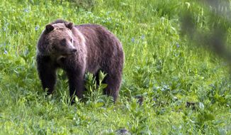 In this July 6, 2011, file photo, a grizzly bear roams near Beaver Lake in Yellowstone National Park, Wyo. Interior Secretary Ryan Zinke says the federal government is moving forward with plans to restore grizzly bears in the remote North Cascade Mountains of Washington state. (AP Photo/Jim Urquhart) **FILE**