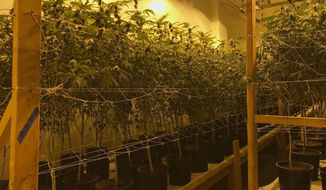 FILE - This Wednesday, Dec. 13, 2017, file photo provided by the San Bernardino Police Department shows a shut down marijuana operation of some 35,000 plants they believe was bringing in millions of dollars a month in San Bernardino, Calif. The woman who owns the operation who claims to be California's largest landlord of marijuana businesses has sued the city of San Bernardino for a law she says will create pot monopolies and could bar her from the industry. (San Bernardino Police Department via AP, File)