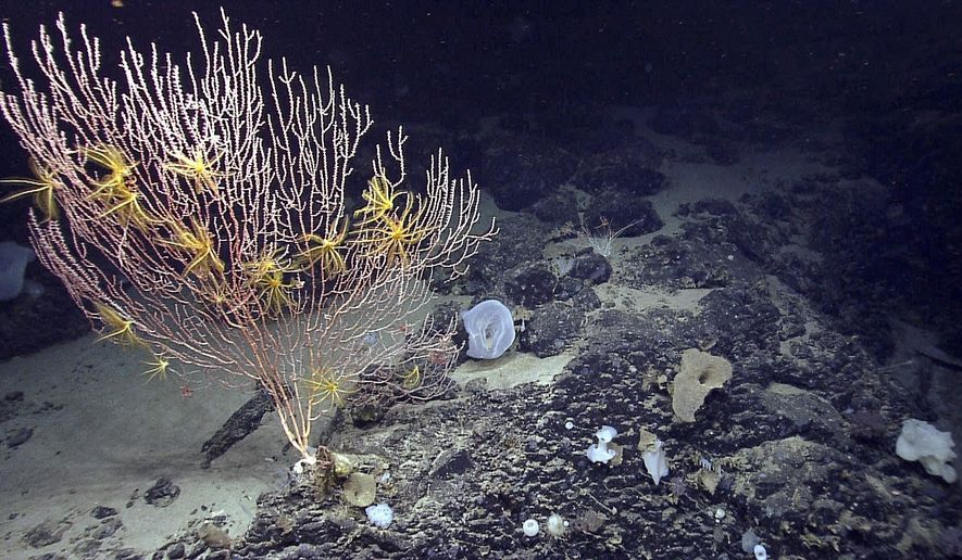 FILE - This 2013 file photo released by the National Oceanic and Atmospheric Administration made during the Northeast U.S. Canyons Expedition, shows corals on Mytilus Seamount off the coast of New England in the North Atlantic Ocean. A federal court ruled in mid-March 2018 that a group of fishing organizations can move forward with a lawsuit that seeks to eliminate the first national marine monument in the Atlantic Ocean. The groups sued to challenge the creation of the Northeast Canyons and Seamounts Marine National Monument created by President Barack Obama in 2016. It's a 5,000-square-mile area off of New England. (NOAA Office of Ocean Exploration and Research via AP, File)