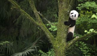 "This image released by Warner Bros. Pictures shows a giant panda cub in a scene from the IMAX documentary ""Pandas."" The film, from David Douglas and Drew Fellman, takes audiences to the Chengdu Research Base For Giant Panda Breeding in China where scientists are working toward a goal of releasing captive-born pandas into the wild, where only about 2000 remaining pandas live. (Drew Fellman/Warner Bros. Pictures via AP)"