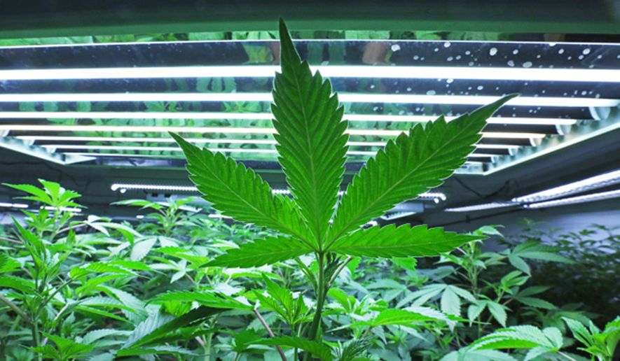 This June 5, 2017, file photo shows a marijuana leaf in the vegetative room at a cannabis cultivator in Fairbanks, Alaska. (Eric Engman/Fairbanks Daily News-Miner via AP, File)