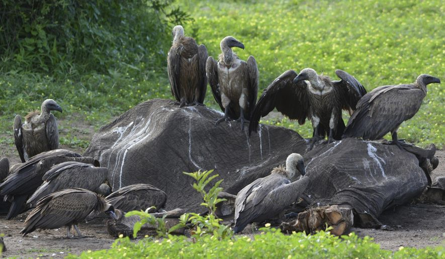 In this photo taken on Feb, 3, 2016, and supplied by researcher Beckie Garbett on Wednesday April 4, 2018, white-backed and hooded vultures feed on a dead elephant carcass in Chobe National Park, Botswana. Poachers, poisoning and other hazards have taken a heavy toll on Africa's threatened vultures as well as the threat of toxic bullet lead that they ingest while eating the carcasses of animals shot by legal hunters. (Beckie Garbett via AP)