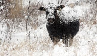 In this photo taken Dec. 3, 2013, a snow-covered cow munches on grass in Beaver Creek Park south of Havre, Mont. Chinese regulators have included beef among U.S. products targeted for a potential 25 percent rise in import duty. (Lindsay Brown/Havre Daily News via AP)