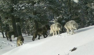 FILE - In this Feb. 1, 2017, file image provided the Oregon Department of Fish and Wildlife, a wolf pack is captured by a remote camera in Hells Canyon National Recreation Area in northeast Oregon. Oregon wildlife officials will allow a cattle rancher to kill two wolves from a new pack in Baker County along the Idaho border. (Oregon Department of Fish and Wildlife via AP, File)
