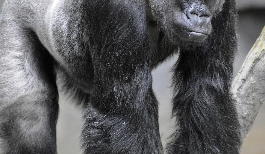 This 2012 photo provided by the Chicago Zoological Society shows Ramar, a western lowland gorilla living at the Brookfield Zoo in Chicago, Ill. Ramar was euthanized on Thursday, April 12, 2018 after a series of chronic, age-related health problems. Ramar was brought to the U.S. in 1969 after he was orphaned in the wild and raised by a human family until he was about 6 years old. Ramar, was the sixth-oldest western lowland gorilla in a North American accredited zoo population, the oldest animal at Brookfield Zoo, and sired three offspring. (Jim Schulz/Chicago Zoological Society via AP)