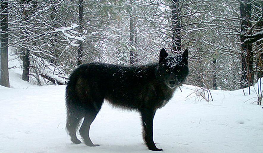 This photo provided by the Oregon Department of Fish and Wildlife shows a wolf of the Wenaha Pack captured on a remote camera on U.S. Forest Service land in Oregon's northern Wallowa County in Feb., 2017. Biologists in Oregon have counted 124 wolves in their annual tally, marking an 11 percent increase over last year's numbers. The much-anticipated report also found a 38 percent increase in the number of breeding pairs in the state, where the species was once wiped out due to a bounty. (Oregon Department of Fish and Wildlife via AP)