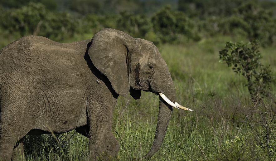 In this photo taken Wednesday, March 21, 2018, a dart containing the elephant tranquilizer etorphine hydrochloride strikes the side of an elephant during an operation to attach GPS tracking collars to them, in Mikumi National Park, Tanzania. The battle to save Africa's elephants appears to be gaining momentum in Mikumi, where killings are declining and some populations are starting to grow again. (AP Photo/Ben Curtis)