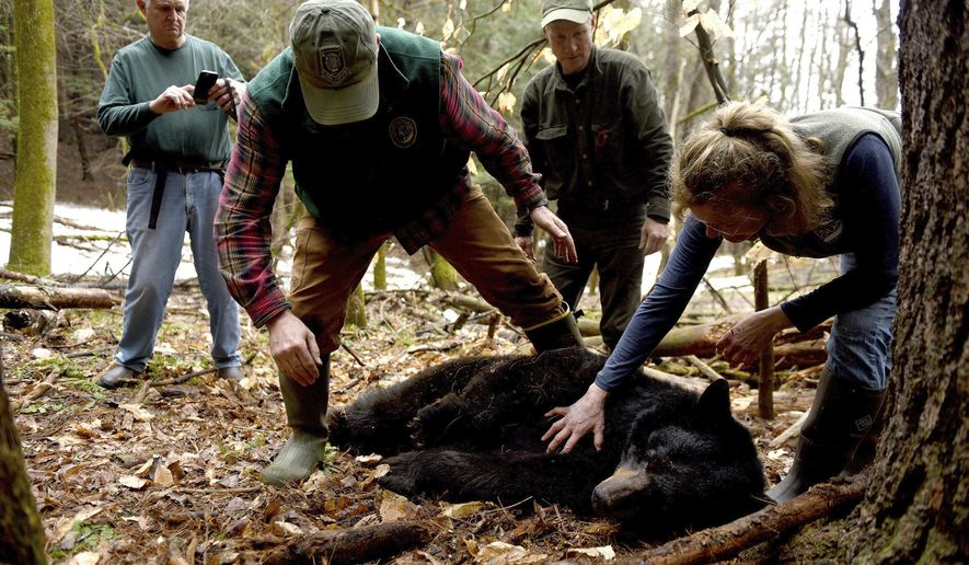 Andrew Timmins, the bear project leader with the New Hampshire Department of Fish and Game, steps over a tranquilized black bear in Hanover, N.H., on April 13, 2018. Nancy Comeau with USDA wildlife services keeps a hand on the bear after the bear had been moved onto her side. Behind them is bear expert Ben Kilham, of Lyme, N.H., and Will Staats, a regional wildlife biologist with New Hampshire Fish and Game. The bear was tranquilized so she could be fitted with a radio collar and an ear tag. She has four cubs. (Jennifer Hauck/The Valley News via AP)