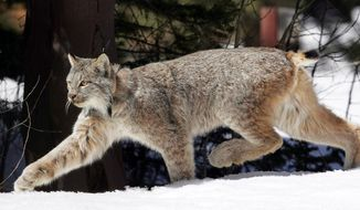 FILE - In this April 19, 2005, file photo, a Canada lynx heads into the Rio Grande National Forest after being released near Creede, Colo. University of New Hampshire scientists have discovered a previously undiagnosed parasite transmitted by ticks and a virus in the Canada lynx. The New Hampshire Veterinary Diagnostic Laboratory uncovered the findings during a recent research study. (AP Photo/David Zalubowski, File)