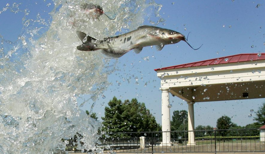 Catfish are released into a pond at a Little Rock, Ark. park. (AP Photo/Danny Johnston, File)