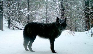 FILE - This Feb., 2017, file photo provided by the Oregon Department of Fish and Wildlife shows a wolf of the Wenaha Pack captured on a remote camera on U.S. Forest Service land in Oregon's northern Wallowa County. Northeast Oregon ranchers are again seeking to eradicate the entire Pine Creek wolf pack from nearby Baker County after the predators allegedly attacked livestock for the third time in just over a week.  (Oregon Department of Fish and Wildlife via AP, File)