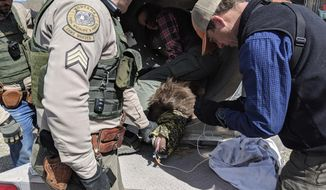 In this photo provided by the Montana Department of Fish, Wildlife and Parks,  Montana Department of Fish, Wildlife and Parks employees care for a tranquilized bear Wednesday, April 18, 2018, after it escaped from a wildlife rehabilitation center west of Helena, Mont. The bear clawed and chewed through one chain-link fence late Tuesday or early Wednesday but did not escape a secondary fence. The bear will be released into the wild where she was found in February emaciated with about 200 porcupine quills in her mouth. (Montana Department of Fish, Wildlife and Parks via AP)