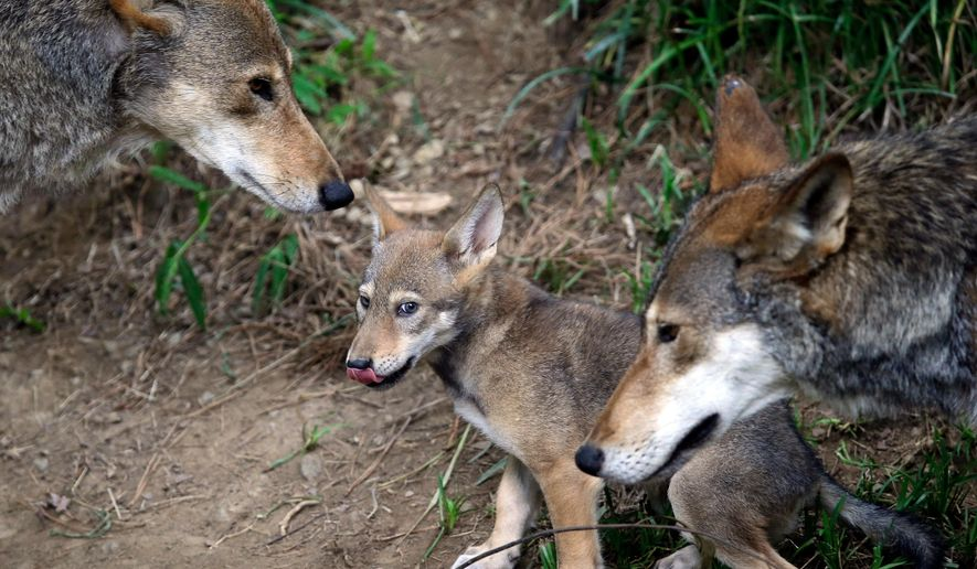 FILE - In this June 13, 2017 file photo, the parents of this 7-week old red wolf pup keep an eye on their offspring at the Museum of Life and Science in Durham, N.C. Federal wildlife officials say the only wild population of endangered red wolves is unsustainable and could be wiped out within years.  The prediction comes in a five-year review of the status of the species released Tuesday, April 24, 2018, by the U.S. Fish and Wildlife Service. The report says only about 40 wolves remain in the wild in North Carolina, down from a peak of about 120 a decade ago. Another 230 wolves live in captivity.  (AP Photo/Gerry Broome, File