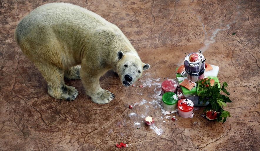 In this Dec. 26, 2013, file photo, Inuka, the first polar bear born in the tropics eats his birthday cake in his enclosure at the Singapore Zoo in Sinagpore. Inuka, the world's first polar bear to be born in the tropics, was put down by the Singapore Zoo on Wednesday, April 25, 2018. The zoo said that the bear, which had reached a ripe old age of 27, was in a fair bit of pain and discomfort from wounds on his abdomen and paws. (AP Photo/Wong Maye-E, File)