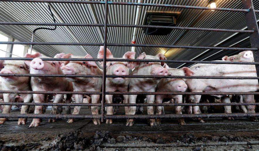 FILE - This July 21, 2017, file photo shows young hogs at Everette Murphrey Farm in Farmville, N.C. Industrial-scale hog producers knew for decades that noxious smells from open-air sewage pits tormented neighbors but didn't change their livestock-raising methods to keep production costs low, the lawyer for farm neighbors told jurors in a federal lawsuit Tuesday, April 24, 2018. (AP Photo/Gerry Broome, File)