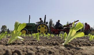 Workers plant romaine lettuce, Thursday, April 26, 2018, at the EG Richter Family Farm in Puyallup, Wash. The farm sells most of it's lettuce to large local grocery store chains, and owner Tim Richter says that so far his farm hasn't been affected by warnings that romaine lettuce from Yuma, Ariz., apparently has been contaminated with the E. coli bacteria. Richter says he urges consumers to stay away from bagged lettuce and to always cut and wash their own produce. (AP Photo/Ted S. Warren)