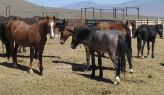 FILE - In this May 25, 2017, file photo, wild horses that were captured from U.S. rangeland stand stand in a holding pen, at the U.S. Bureau of Land Management's Wild Horse and Burro Center in Palomino Valley about 20 miles north of Reno, Nev. Pressing again for authority to sterilize, euthanize or sell for slaughter tens of thousands of wild horses roaming public lands in the West, U.S. land managers have added a new idea for culling overpopulated herds, a $1,000 paycheck for those who adopt one. Overwhelmed by what it calls a $1 billion problem, the Bureau of Land Management trotted out the novel approach in a suite of options presented to Congress this week.(AP Photo/Scott Sonner, File)