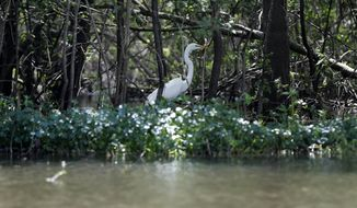 In this Friday, April 27, 2018 photo, a Great White Heron appears through trees on Bayou Sorrel in the Atchafalaya River Basin in La. A company building a crude oil pipeline is asking a federal appeals court to throw out a judge's order that had suspended construction work in an environmentally fragile swamp. A three-judge panel of the 5th U.S. Circuit Court of Appeals is scheduled to hear arguments Monday, April 30, by attorneys for Bayou Bridge Pipeline LLC, federal regulators and environmental groups opposed to the project. In February, a judge temporarily stopped all pipeline construction work in the Atchafalaya Basin. (AP Photo/Gerald Herbert)