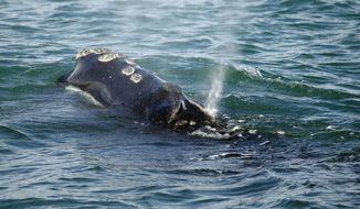 FILE - In this March 28, 2018, file photo, a North Atlantic right whale feeds on the surface of Cape Cod bay off the coast of Plymouth, Mass. A group of Democratic senators said in an April 25 letter to the National Oceanic and Atmospheric Administration that the agency should conduct a review of Canada's right whale conservation standards, and consider prohibitions on some Canadian seafood imports if they are too weak. The right whales number only about 450, with 17 deaths in 2017 and 12 of which were in Canada. (AP Photo/Michael Dwyer, File)