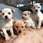 Puppies await some new owners on Valentine's Day in Cleveland, Ohio, during a pup rescue outreach. (AP Photo) ** FILE **