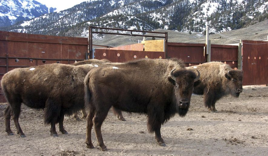 FILE - This March 9, 2016 file photo a group of Yellowstone National Park bison await shipment to slaughter inside a holding pen along the park's northern border near Gardiner, Mont. Yellowstone National Park officials will launch a new bison quarantine program aimed at establishing new, disease-free herds for release on public and tribal lands. National Park Service officials green-lighted the program Tuesday, May 15, 2018, that will test captured bison for the disease brucellosis, which causes animals to abort their young. (AP Photo/Matthew Brown, File)