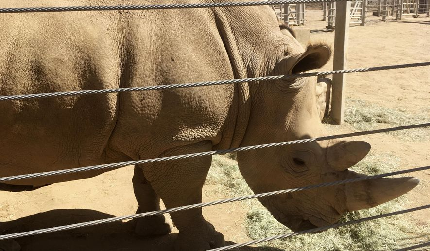 This photo shows Victoria, a pregnant southern white rhino, Thursday, May 17, 2018, at the San Diego Zoo Safari Park in Escondido, Calif. The rhino, which has become pregnant through artificial insemination at the park, is giving hope for efforts to save a subspecies of one of the world's most recognizable animals, researchers announced Thursday. (AP Photo/Julie Watson)