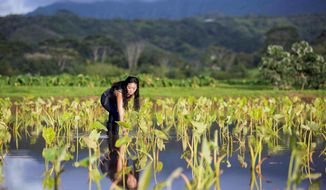 This May 29, 2016 photo provided by Christian Kahahawai shows Lyndsey Haraguchi-Nakayama planting huli, or taro seedlings at her farm in Hanalei, Kauai island, Hawaii. Farmers on the Hawaiian island of Kauai say their state should brace for a shortage of its taro crop, a staple of the traditional Hawaiian diet, after record-breaking rains flooded their fields in April 2018. Haraguchi-Nakayama said damage from the flooding was the worst her family has seen, including her 96-year-old grandfather. It did more harm to their 55-acre farm than Hurricane Iniki that slammed Kauai in 1992. (Christian Kahahawai/Kahahawai Photography via AP)