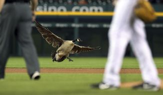 A Canada goose lands near the pitching mound during the sixth inning of a baseball game between the Detroit Tigers and the Los Angeles Angels, Wednesday, May 30, 2018, in Detroit. (AP Photo/Carlos Osorio)