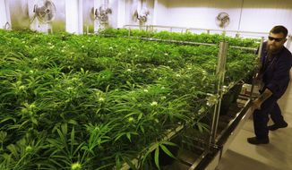In this Sept. 15, 2015, file photo, lead grower Dave Wilson cares for marijuana plants at the Ataraxia medical marijuana cultivation center in Albion, Ill. (AP Photo/Seth Perlman, File)