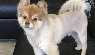 This undated photo provided by Michael Dellagrazie of Staten Island, N.Y., via his attorney Evan Oshan, shows Dellagrazie's Pomeranian named Alejandro, who was found dead in its carrier Wednesday, May 30, 2018, at a cargo facility at Detroit Metropolitan Airport. The dog was traveling with Delta Air Lines and was making a temporary stop in Michigan on its way to Newark, N.J., from Phoenix. It had been flying alone in the cargo section according to Oshan. (Courtesy of Michael Dellagrazie via AP)