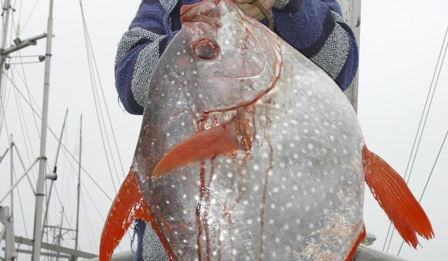 FILE - In this Sept. 12, 2005, file photo, John Petraborg holds up a 35-pound moonfish, also known as opah and normally found in the deep waters near Hawaii, on board his troller Roulette at ANB Harbor in Sitka, Alaska. Scientists have identified three new species of opah, a colorful peculiar deep-diving fish that is increasingly caught and served in U.S. restaurants. A team of researchers with NOAA Fisheries has identified five distinct species of opah, rather than just one.   (James Poulson/The Daily Sitka Sentinel via AP)