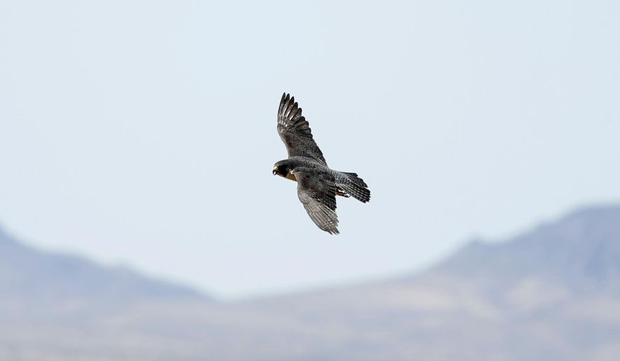 In this May 16, 2018, photo, an adult peregrine falcon circles near its nest on a ledge overlooking Lake Mead in Temple Bar, Ariz. Joe Barnes, a biologist with the Nevada Department of Wildlife, weighed and measured each of the three chicks, collected samples of their feathers and fit metal identification bands around their legs. (Andrea Cornejo/Las Vegas Review-Journal via AP)