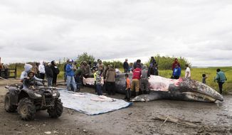 This July 29, 2017, photo provided by KYUK Public Media shows a gray whale being butchered near Napaskiak, Alaska, with the meat being distributed among several villages. Federal officials decided native hunters will not be prosecuted for the unauthorized kill after the whale strayed into the Kuskokwim River in southwestern Alaska from the North Pacific Ocean. (Katie Basile/KYUK Public Media via AP)