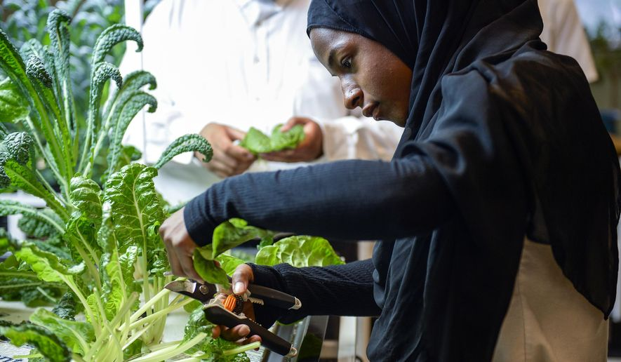In a Thursday, May 31, 2018 photo, Amatullah Ibnabdulkareem, 18, harvests from an aquaponics system at Willingboro High School  in Willingboro, N.J. Students raise tilapia in a 400-gallon tank and use the waste from the fish to fertilize collard greens, kale and Swiss chard whose roots are suspended in water instead of buried in soil.  ( Joe Lamberti/Camden Courier-Post via AP)