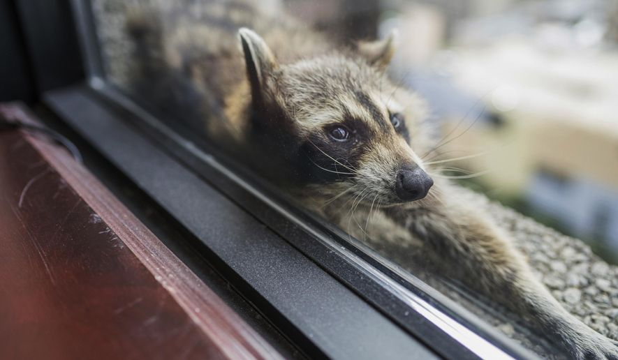 A raccoon stretches out on a windowsill high above downtown St. Paul, Minn., Tuesday, June 12, 2018. (Evan Frost/Minnesota Public Radio via AP)