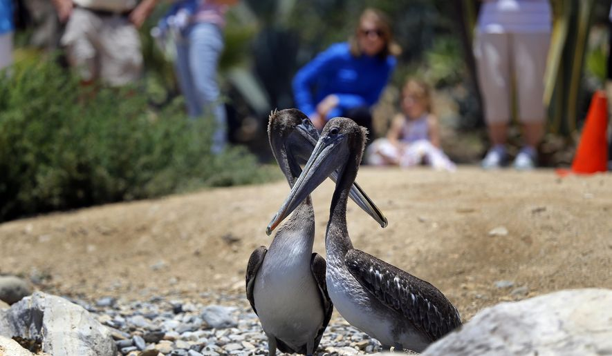 A pair of California Brown Pelicans await before flying off as they are released in the beachfront city of San Pedro, Calif., Wednesday, June 13, 2018. The three were among 50 taken in by International Bird Rescue since April. More are expected to fly the coop in the weeks ahead. Rescue officials say the birds, instantly recognizable with their long, curved beakes, were emaciated, anemic and suffering from other ailments when they arrived at the group's aviaries in April. The group worries that rising ocean temperatures may be shrinking the birds' main food supply, fish. (AP Photo/Damian Dovarganes)