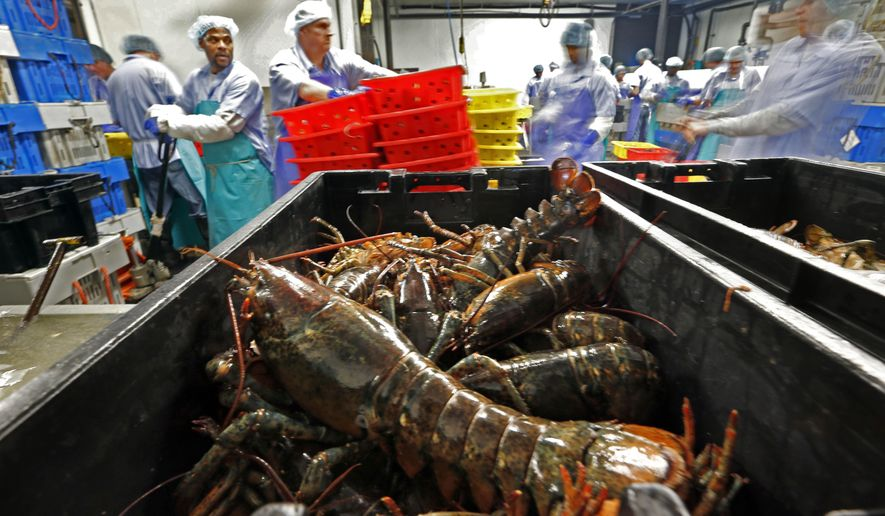 In this June 20, 2014, file photo, lobsters are processed at the Sea Hag Seafood plant in St. George, Maine. A set of retaliatory tariffs released by China includes a plan to tax American lobster exports, potentially jeopardizing one of the biggest markets for the premium seafood. Chinese officials announced the planned lobster tariff, Friday, June 15, 2018, along with hundreds of others amid the country's escalating trade fight with the United States. (AP Photo/Robert F. Bukaty, File)