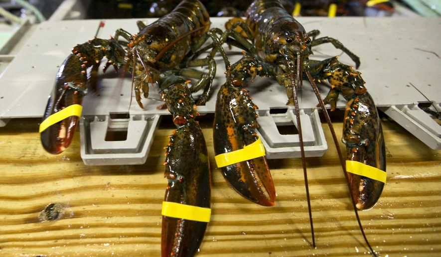 """FILE - In this June 12, 2015, file photo, a hardshell lobster, left, and soft-shelled """"shedder"""" look nearly identical prior to being boiled at the Clam Shack in Kennebunkport, Maine. A set of retaliatory tariffs released by China includes a plan to tax American lobster exports, potentially jeopardizing one of the biggest markets for the premium seafood. Chinese officials announced the planned lobster tariff, Friday, June 15, 2018, along with hundreds of others amid the country's escalating trade fight with the United States. (AP Photo/Robert F. Bukaty, File)"""