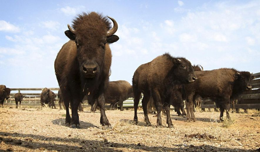 "FILE - This Sept. 23, 2012, file photo shows buffalo in Custer State Park in western South Dakota. A new book detailing the history of the American buffalo is telling the story of the last great bison hunts in the western Dakotas and efforts to restore the animals that were on the brink of extinction. ""Buffalo Heartbeats Across the Plains,"" released in June 2018 by North Dakota author Francie Berg, takes a deeper dive into the people and places featured in her previous tour book. (AP Photo/Amber Hunt, File)"