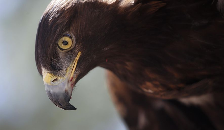 Walter, a golden eagle, sits on the glove of Curator for Wildlife Jon Nelson at the High Desert Museum on Monday, June 11, 2018, in Bend. A team of grad students was working with OSU associate professor Roberto Albertani at the High Desert Museum, recording golden eagle flight to develop technology that ultimately reduces the number of golden eagles killed by wind turbines. (Joe Kline /The Bulletin via AP)