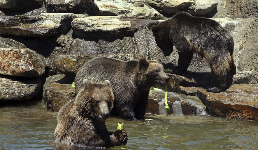 Grizzly and brown bears eat a celery snack in their pool habitat on the California Trail at the Oakland Zoo on Wednesday, June 20, 2018, in Oakland, Calif. More than two decades in the making, Oakland Zoo's highly anticipated California Trail opens to the public on July 12, 2018. The expansion more than doubles the current size of the zoo from 45 to 100 acres. Eight new native California animal species, each selected for their historical significance to California and status in the wild, have settled into their expansive new habitats, among the largest in the world and designed under the collaboration of animal behavior, wildlife, and habitat design experts. The California Trail will be home to American buffalo, grizzly, black, and brown bears, mountain lions, jaguars, California condors, gray wolves and bald eagles. (AP Photo/Ben Margot)
