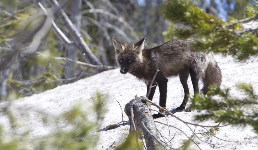 In this May 11, 2016 photo, Sierra Nevada red fox wanders near Mt. Bachelor, west of Bend, Ore. (Andy Tullis/The Bulletin via AP)