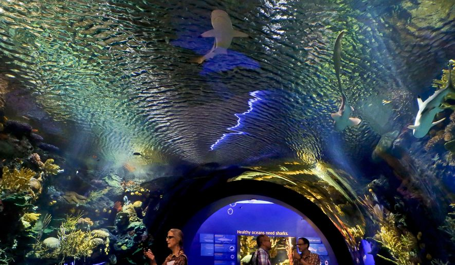 "Visitors walk through an immersive underwater tunnel that features a coral reef ecosystem with sharks at the new shark exhibition at the New York Aquarium, Wednesday June 20, 2018, in New York. ""Ocean Wonders: Sharks!"" exhibition, scheduled to open June 30, requires 500,000 gallons of water and will house more than 115 species with interactive presentations. (AP Photo/Bebeto Matthews)"