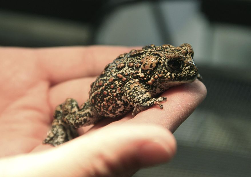 This July 2017 photo provided by the University of Nevada, Reno shows a Dixie Valley toad at a laboratory on the Reno, Nev. The U.S. Fish and Wildlife Service agreed on Tuesday, June 26, 2018, to consider Endangered Species Act protection for the toad that only recently was discovered in northern Nevada's high desert where one of the biggest producers of geothermal energy in the nation wants to build another power plant. (Mike Wolterbeek/University of Nevada, Reno via AP)