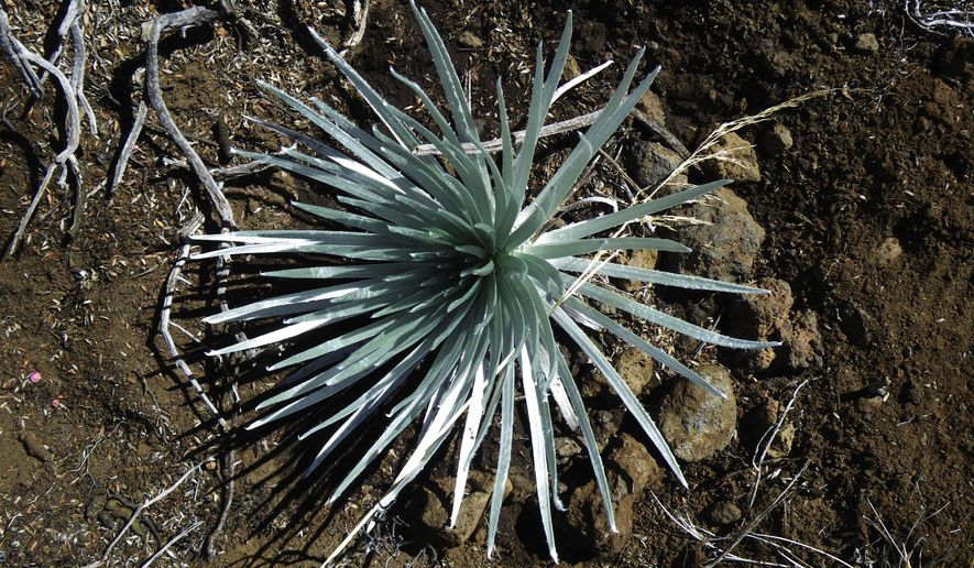 This undated photo provided by the National Park Service shows a rare silversword plant that had been removed by a visitor from Haleakala summit in Haleakala National Park in Hawaii. Charges are pending against two visitors after they were seen removing federally protected plants Monday, June 25, 2018, from near the Maui crater, authorities said. (National Park Service via AP)